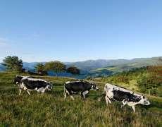 Vaches vosgiennes sur les chaumes